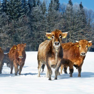 Murnau Werdenfelser Rind